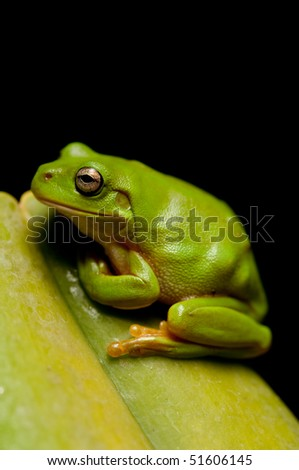 Closeup view of a green tre frog sitting on a leaf.  Part of a series - stock photo