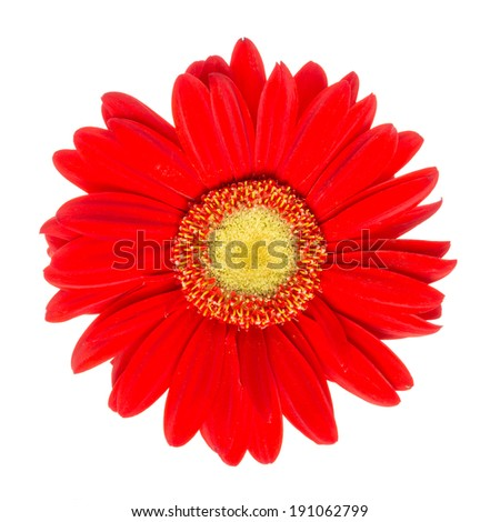 Closeup view of a red daisy isolated  on white