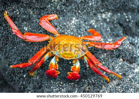 Closeup view of a Sally Lightfoot Crab on Isabela Island in the Galapagos Islands in Ecuador - stock photo