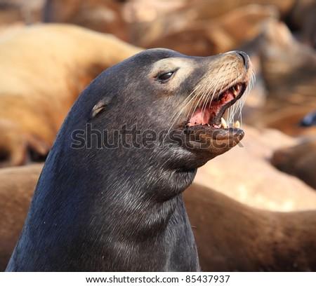 Closeup view of a sea lion - stock photo