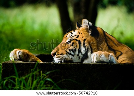 Closeup view of a Tiger from the side view, Colour photo