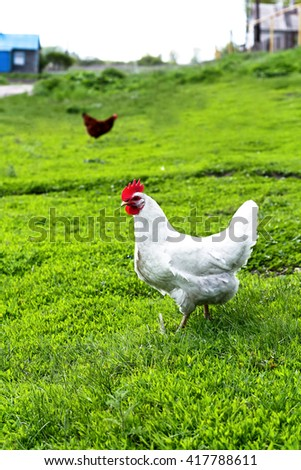 Closeup view of a white hen in a meadow - stock photo