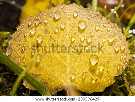 Closeup view of a yellow aspen leaf covered in raindrops