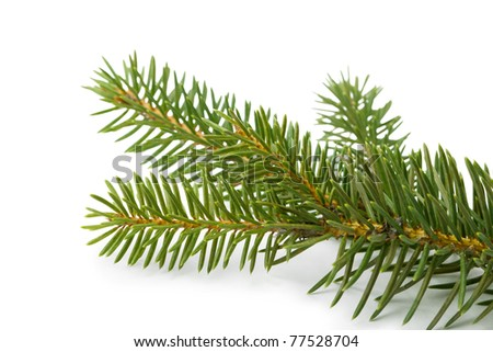 Closeup view of fir branch isolated on white - stock photo