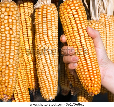 closeup view of hand holding yellow corn. Corn on the cob for feeding. - stock photo