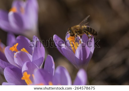 Closeup view of honeybee to a flower violet crocus (saffron) - stock photo
