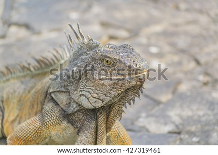 Closeup view of iguana at Iguanas Park, a touristic attraction located in the downtown of Guayaquil, Ecuador