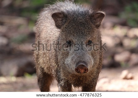 Closeup view of javelina or collard peccary (Pecari tajacu)