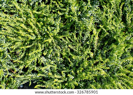 Closeup view of many little thin branches on fresh long evergreen plant in lush beautiful wild field sunny day outdoor on natural background, horizontal picture - stock photo