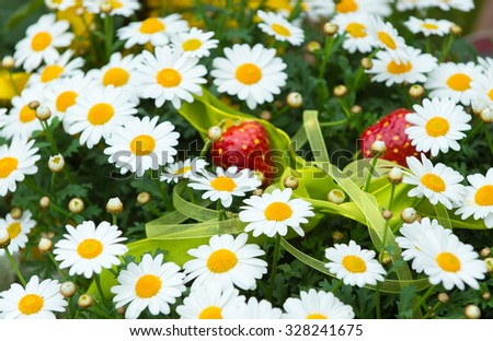 Closeup view of many little yellow with white petals thin flowers on fresh green stems in lush beautiful wild field with plastic strawberries on natural background, horizontal picture - stock photo