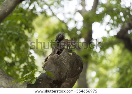 Closeup view of one beautiful curious funny cute small wild animal of squirrel grey colour with long fluffy tail sitting outdoor in forest on natural background, horizontal picture - stock photo