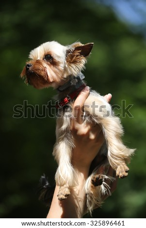 Closeup view of one beautiful cute little pure breed dog of Yorkshire Terrier pet with brown and black fur high on human hand sunny outdoor on natural background, vertical picture - stock photo