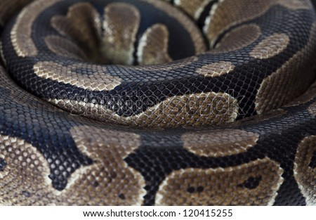 Closeup view of snake Python twisted in a coil - stock photo