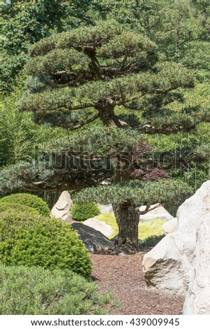 Closeup view of the shaped pine tree in the Japanese garden. Vertically. - stock photo