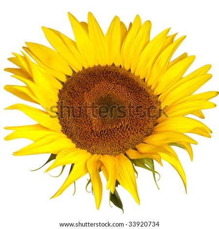 Closeup view of  the yellow sunflower isolated on white background