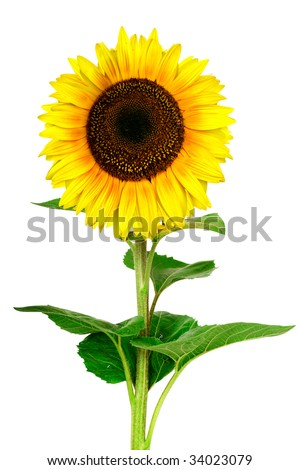 Closeup view of  the yellow sunflower isolated on white background - stock photo