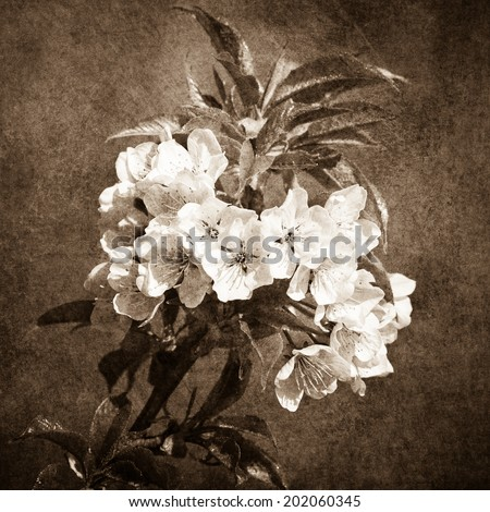 Closeup view of white apple blossoms leaves against textured background. Sepia photography of square format. Springtime celebration. Color and black and white versions of this image are also available - stock photo