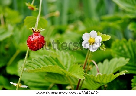 Closeup view of wild strawberry ( fragaria vesca,alpine strawberry,woodland strawberry,European strawberry,fraises des bois). Focus on ripe fruit. - stock photo