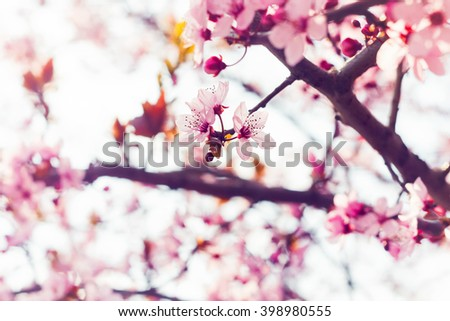 Closeup view on freshly blooming sakura cherry blossom - stock photo