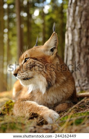 Closeup view to eurasian lynx next to the tree in forest - stock photo