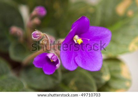 closeup violet flower - stock photo