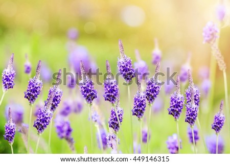 Closeup violet lavender flowers in the field. - stock photo