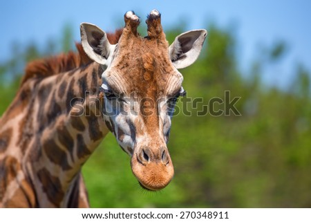 Closeup vivid portrait of beautiful Ugandan giraffe  - stock photo