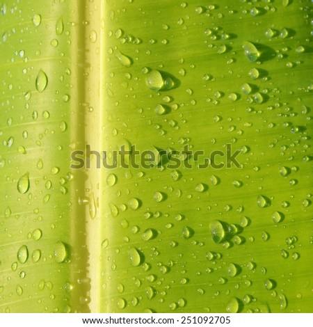 closeup water drop on green banana leaf - stock photo