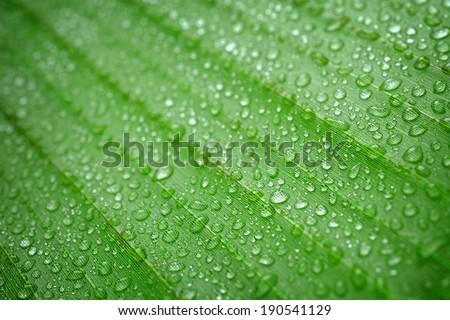 closeup water drop on green fresh banana leaf - stock photo