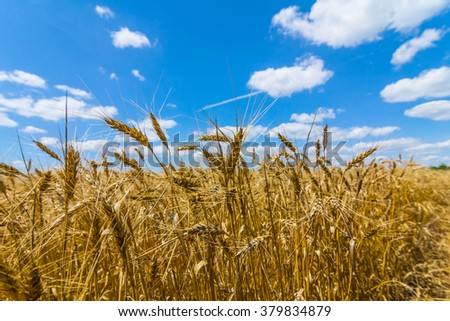 closeup wheat ear in a blue sky background - stock photo