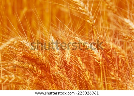 closeup wheat ears