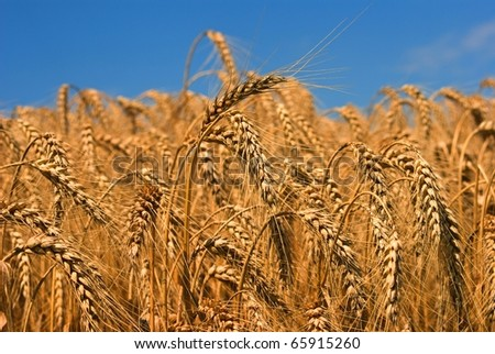 closeup wheat ears on a blue sky background