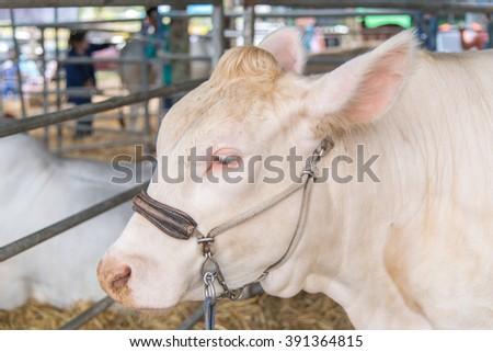 closeup white brahman cow,korat,thailand - stock photo
