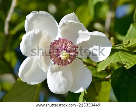 Closeup  white flower of magnolia sieboldii - stock photo