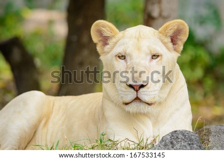Closeup white lion Panthera leo look at the camera - stock photo