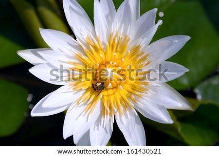 Closeup white lotus and bee - stock photo