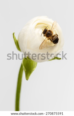 Closeup White Ranunculus Flower with Bee on White Background - stock photo