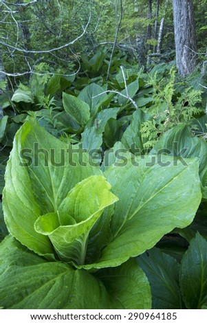 Closeup wide angle of lush green Symplocarpus foetidus skunk cabbage growing on swampy forest floor near northeast coast of Maine - stock photo