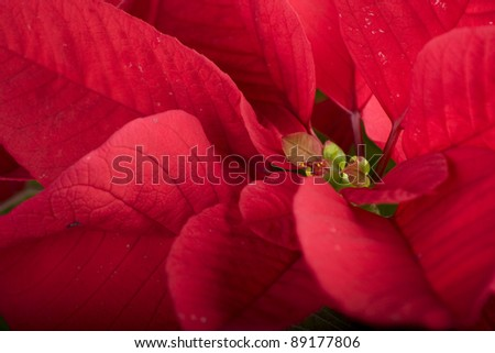 closeup with red poinsettia