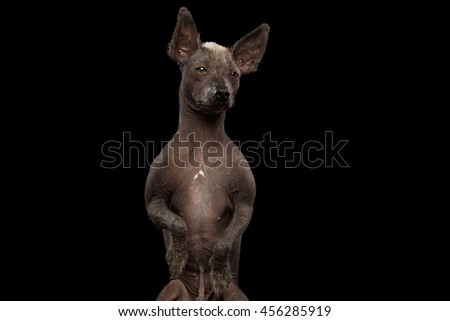 Closeup Xoloitzcuintle - hairless mexican dog breed Standing on hind legs, Curious Looks, on Isolated Black background, Sad eyes - stock photo