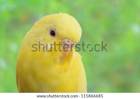 closeup yellow canary bird - stock photo