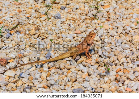 Closeup yellow crested lizard perched on the Bedrock. - stock photo