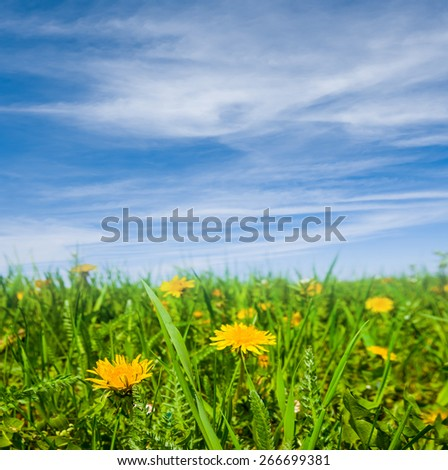 closeup yellow dandelions - stock photo