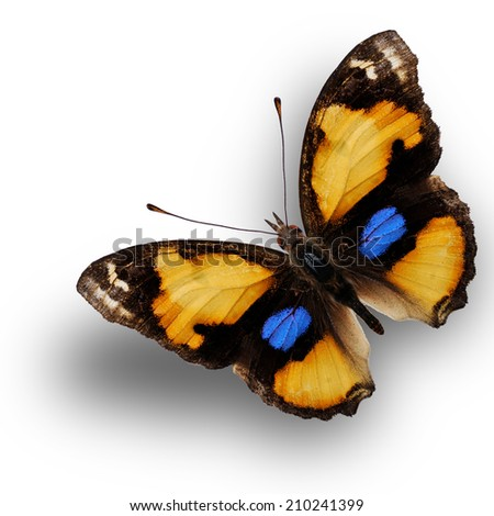 Closeup yellow pansy butterfly upper wing profile isolated on white background. - stock photo
