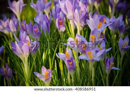 closeup , young crocuses just started to blossom  - stock photo