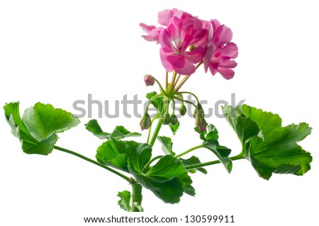 closeup young plant of geranium � scion - stock photo