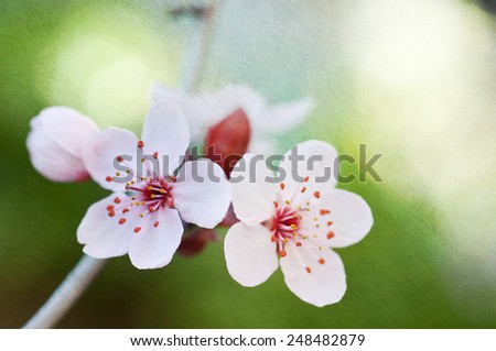 Closeups of springtime cherry blossoms, macro photography, image blended with a textured background for more painterly feel - stock photo