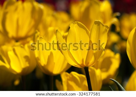 Closup of yellow tulip in the field with shallow depth of field - stock photo