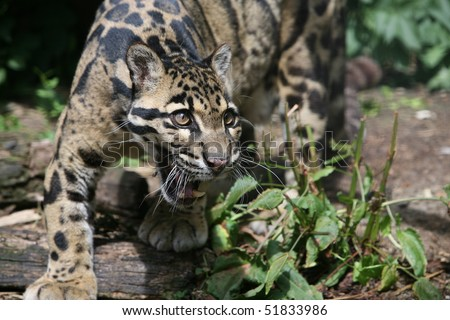 Clouded Leopard - stock photo