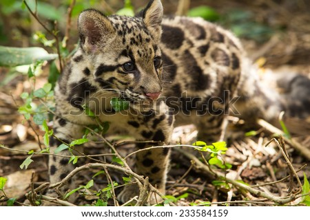 Clouded Leopard (Neofelis Nebulosa) - stock photo